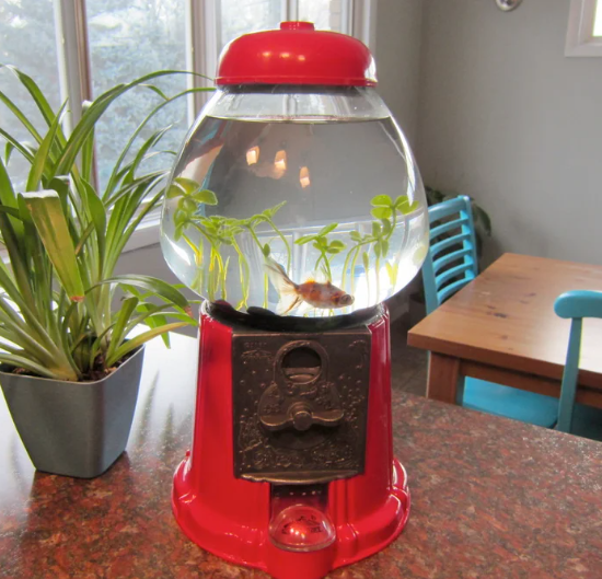 Gumball machine turned into a fish tank